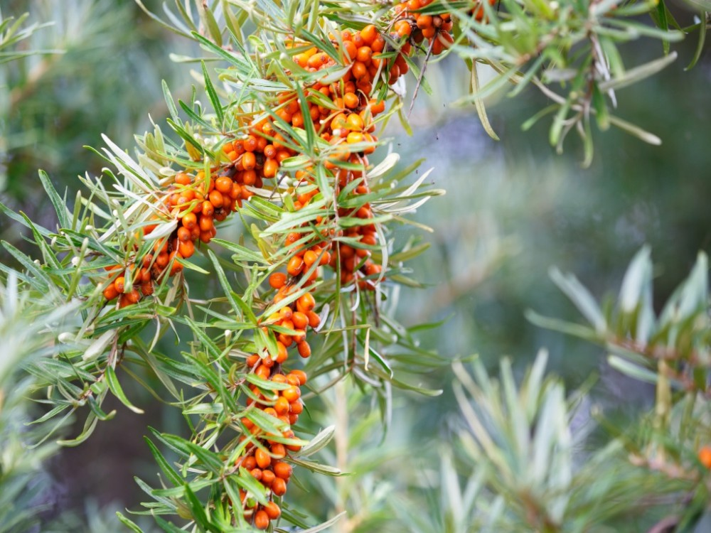 What Is Sea Buckthorn?