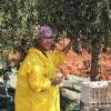 Harvesting Morocco Gold olives