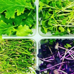 Microcuts Box - Vitality (Coriander, Broccoli, Red Giant Mustard, Radish)