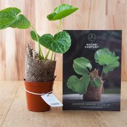 Fresh Wasabi Plant