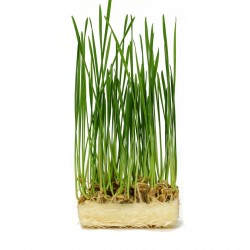 Fresh LIVE wheatgrass