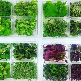Microgreens, Microherbs & Leafy Greens Sampling Tray (16 Varieties)