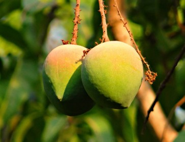 4 Reasons to Love Mangoes
