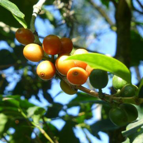 Rinaldo's Cherry ripening on the branch